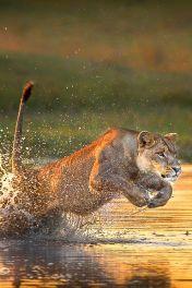 lionhung